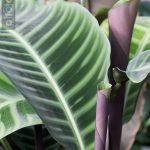 Calathea zebrina / Korbmarante (Pfeilwurz)